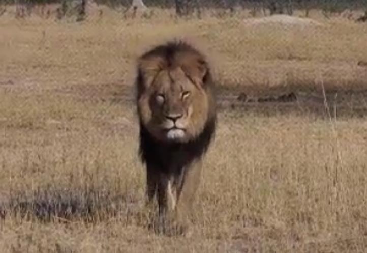 Zimbabue no juzgará a dentista que mató a león Cecil