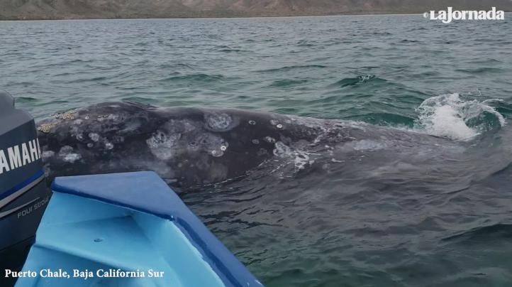 Puerto Chale se coloca en el mapa de avistamiento de la ballena gris