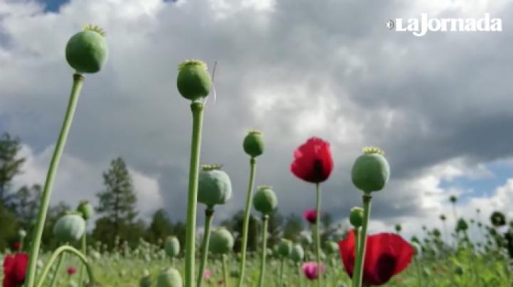 Un mensaje es dejado en un plantío de amapola; militares lo descubren