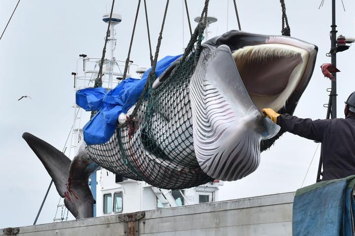 Japón reanuda caza comercial de ballenas pese a poca demanda