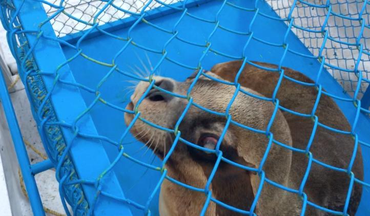 Trasladan tres ejemplares de Lobo marino a Nayarit