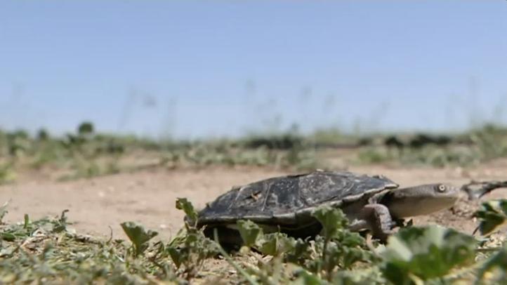 Protegen a tortugas de cuello largo de depredadores en Australia