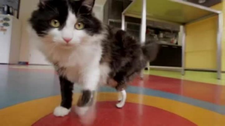 """El gato biónico"""" de Bulgaria."""