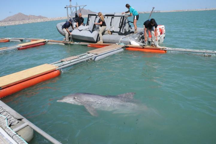 Delfines entrenados por la Armada de EU buscarán a las 30 vaquitas marinas que aún hay