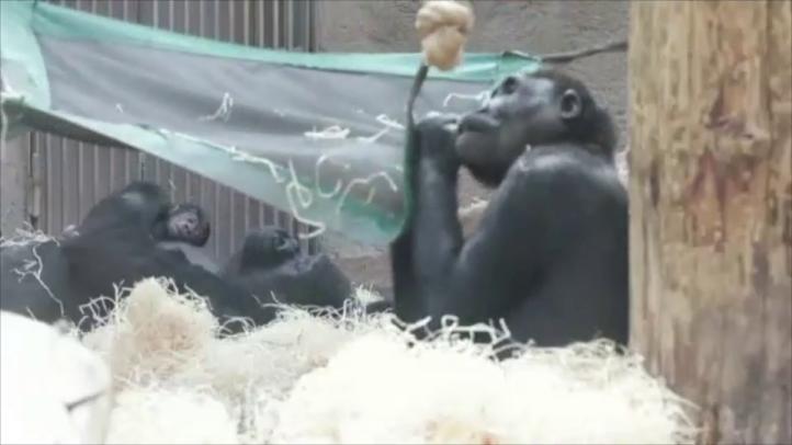 Nace cría de gorila en zoológico de Praga