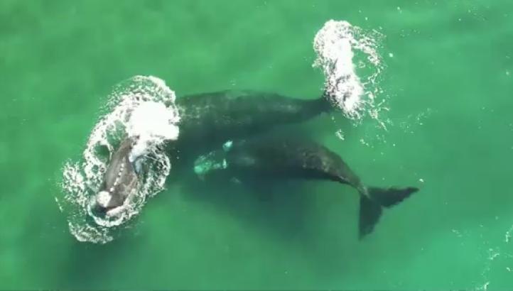 Arranca la migración anual de ballenas francas hacia la Patagonia Argentina