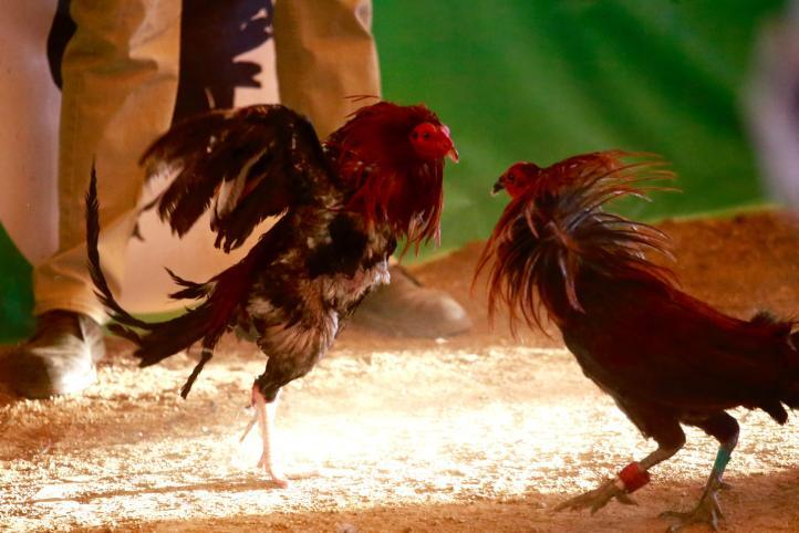 Primer Torneo de Gallos en Xochimilco