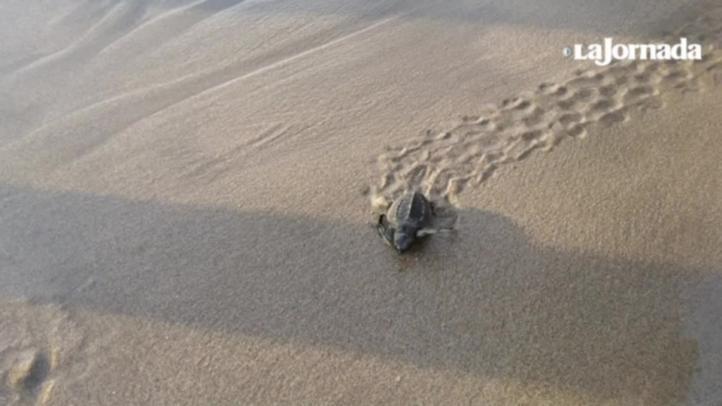 Decenas de jóvenes liberan tortugas en Acapulco