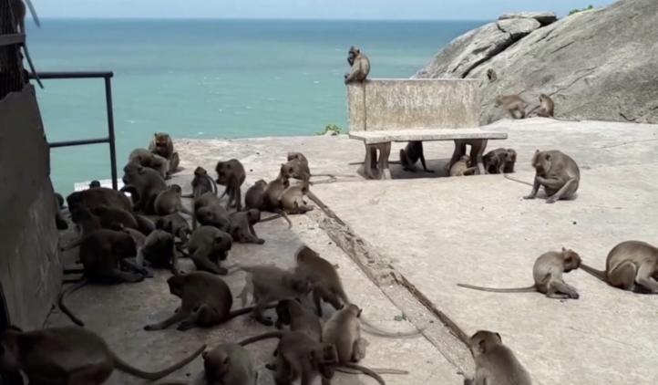 Tras múltiples robos a turistas, 600 monos fueron esterilizados en Tailandia