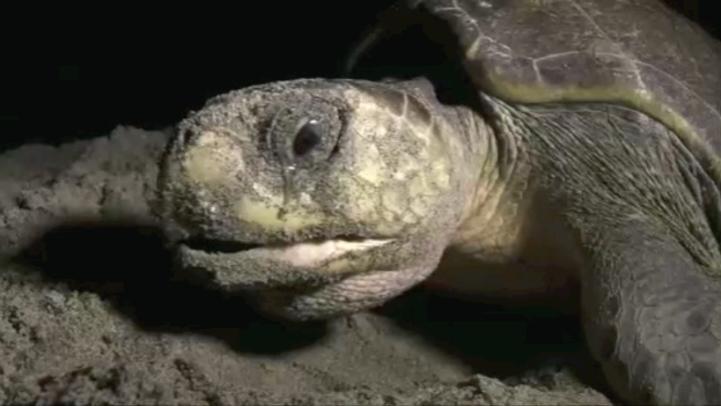 Llegaran miles de tortugas a Oaxaca