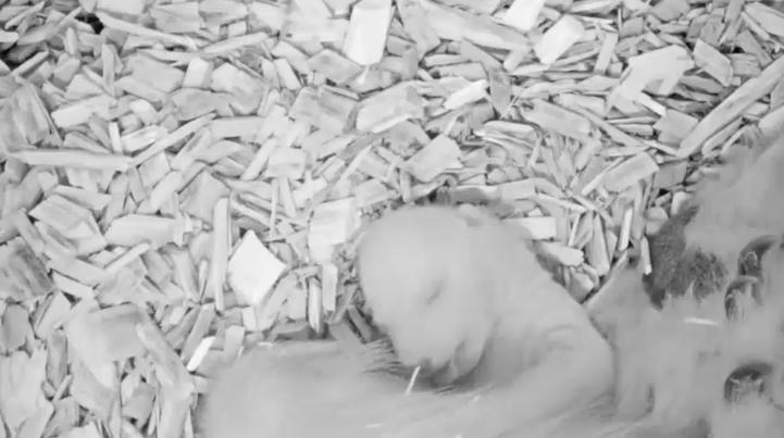 Zoológico de Berlín muestra imágenes de un oso polar cachorro