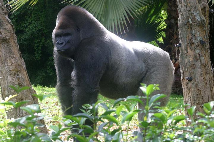 Suspenden a director de zoológico por muerte de gorila Bantú