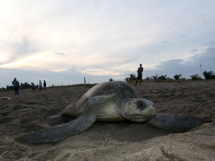 Miles de tortugas golfinas dejan sus huevos en Oaxaca