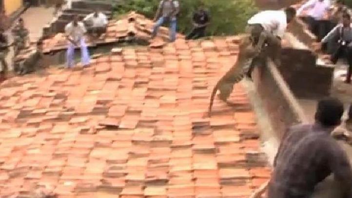Leopardo desata pánico en ciudad de La India