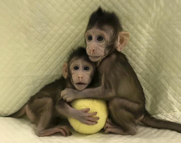 Monos clonados: ¿Seguirán los seres humanos?
