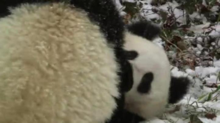 Pandas gemelos juegan en la nieve por primera vez