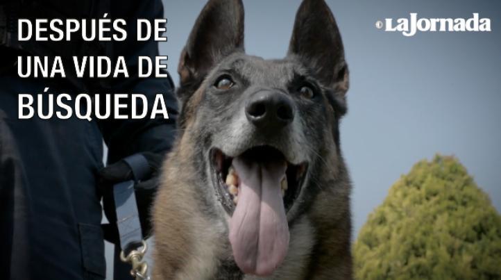 Tras una vida de búsqueda de personas, narcóticos y armas de fuego, estos perros de la Policía Federal se retiran