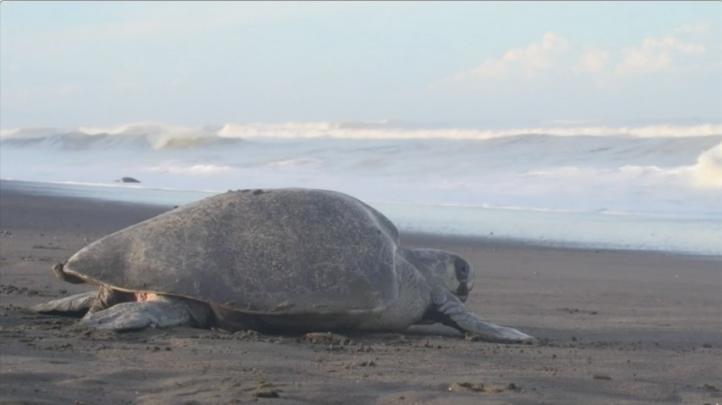Costa Rica: combinan protección a tortugas y recolección de huevos