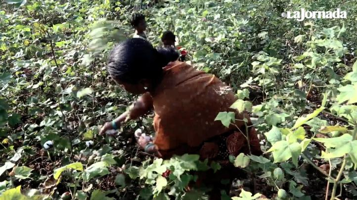 Monsanto y los suicidios de campesinos en India