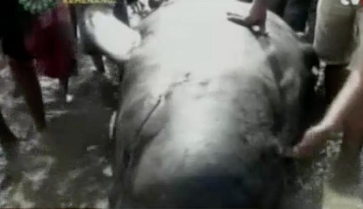 Mueren 10 ballenas que quedaron varadas en Indonesia
