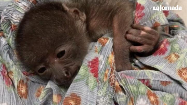 Rescatan a dos tucanes y un mono bebé