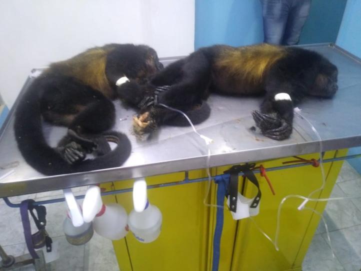 Matan a dos monas para despojarlos de sus crías, en Veracruz