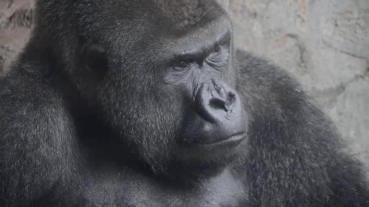 Los grandes simios pueden comprender los estados mentales de otros