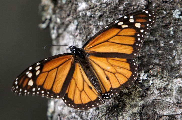 Número de mariposas Monarca que hibernan en México cayó 43.7% este año