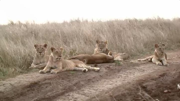 Urbanización en Nairobi amenaza a leones silvestres