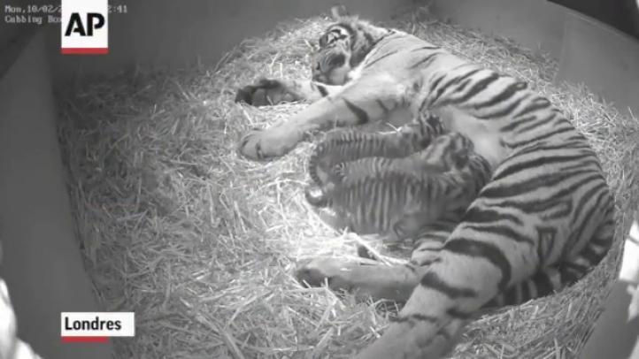 Nacen en Londres trillizos de tigre en riesgo de extinción