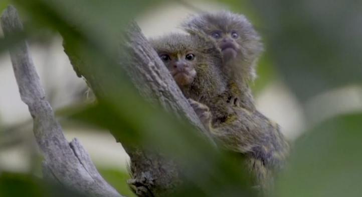 Titís, los primates más pequeños del mundo