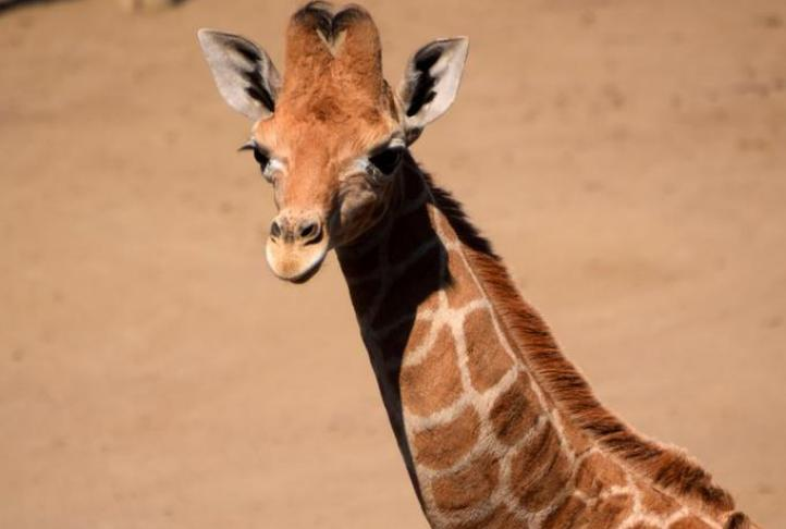 Buscan nombre para jirafa bebé
