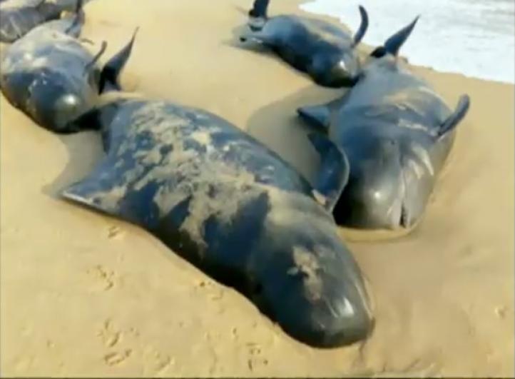 80 ballenas quedan varadas en costas de la India