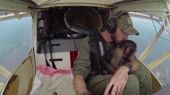 Un chimpancé rescatado es trasladado por un amoroso piloto