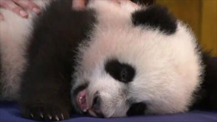 Exhiben un nuevo oso panda en zoológico de Washington