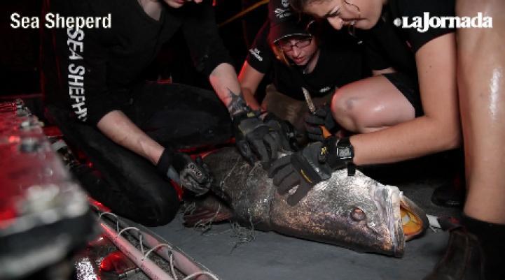 Rescatan una totoaba, especie en peligro de extinción