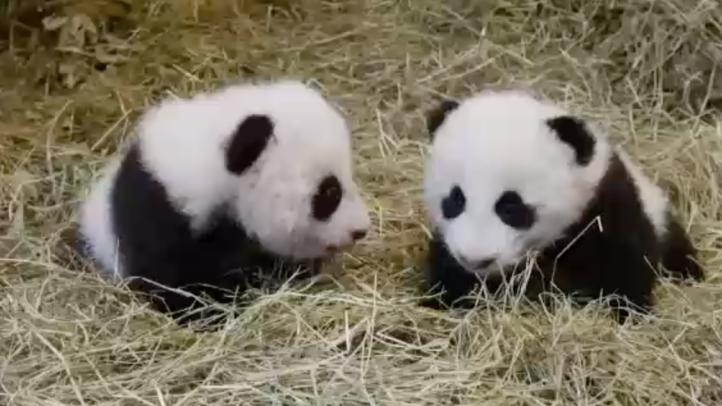 Nacen osos pandas en zoológico de Viena