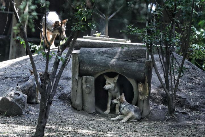 Nacen más lobos mexicanos en zoológico de la CDMX