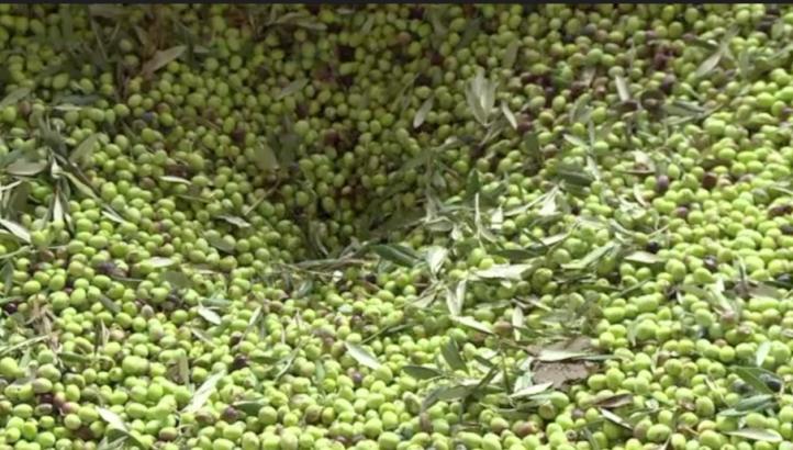 El cambio climático amenaza la producción de aceite de oliva en Túnez
