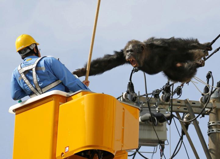 Chimpancé escapa de zoológico en Japón