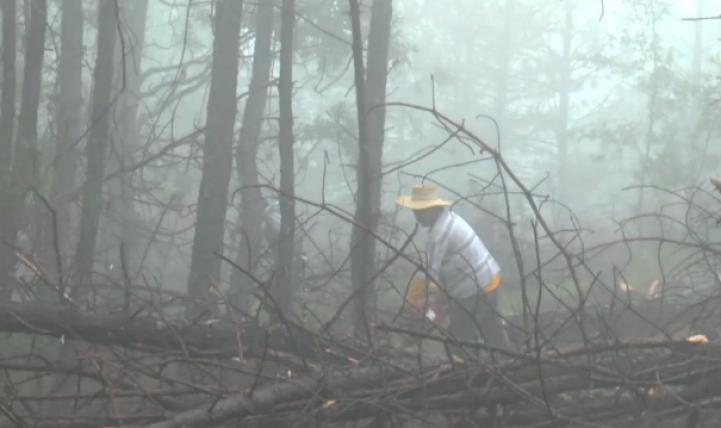 Gusano descortezador arrasa con 40 hectáreas de bosque en Tlaxiaco