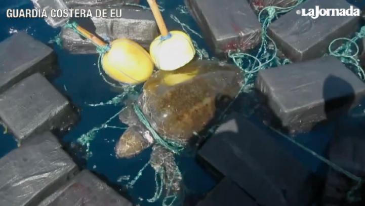 Una tortuga marina se enreda entre paquetes de cocaína
