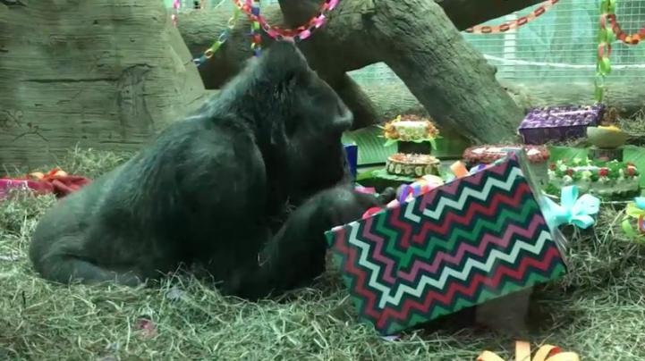 La gorila Colo cumple 60 años; es la más anciana en Estados Unidos