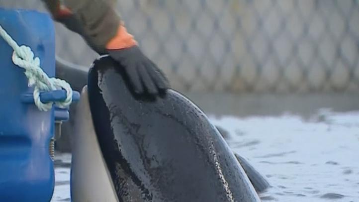 Oficiales rusos ordenan liberar ballenas ilegalmente capturadas