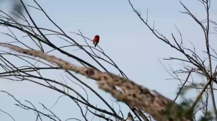 Venezuela lucha por salvar al cardenalito rojo