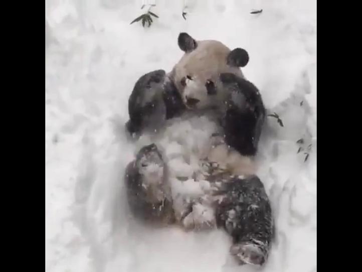 El panda Tian Tian se emociona con la nieve