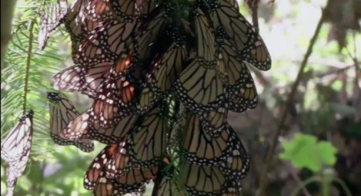 Aumenta la mortalidad de la mariposa monarca en México