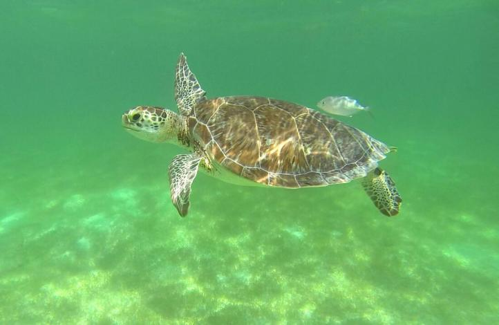 Suspenden nado con tortugas en Akumal
