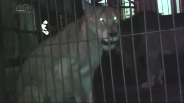 Rescatan a dos leones que habían sido abandonados en Yucatán