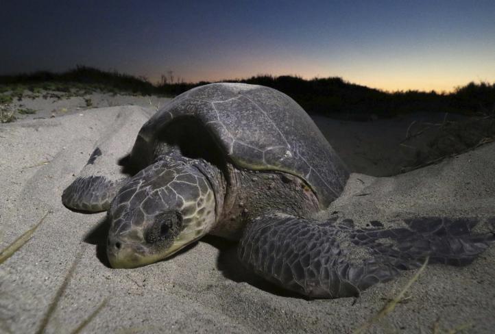 En Oaxaca, unos liberan tortugas, otros roban sus huevos